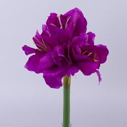 амариллис на короткой ножке ярко фиолетовый